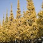 明治神宮外苑の紅葉2016年いちょう祭の見頃やアクセスについて