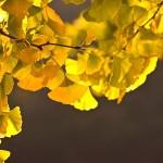国営昭和記念公園の紅葉時期 イチョウ並木は?アクセスは?