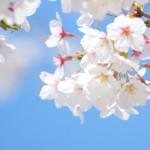 東京の桜がきれいなおすすめの場所5選 お花見の時期はいつ?
