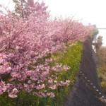河津の桜まつり2016年 河津桜の見ごろは?アクセスは?