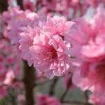 ひな祭りに桃の花を飾る理由は?ステキな飾り方、時期について