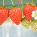 イチゴ狩りならココ 関東で食べ放題のおすすめの場所6選!