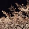 東京の夜桜がきれいなデートスポット おすすめの場所は?