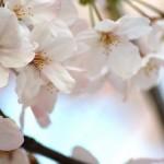 2016年の東京の桜の開花予想と見頃はいつ?いつまでもつの?