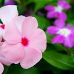 ガーデニング初心者でも育てやすい花 夏の花は?必要な物は?